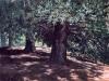 trees_abetos