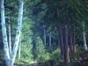 trees_bosque_canadiense